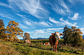 Cows, Aidling hights, Alps, Upper Bavaria, Germany, Europe