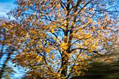 tree in motion, autumn impression, Upper Bavaria, Germany, Europe
