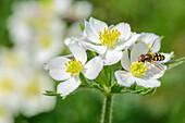 Weiss blühendes Narzissen-Windröschen, Anemone narcissiflora, Nagelfluhkette, Allgäuer Alpen, Allgäu, Schwaben, Bayern, Deutschland