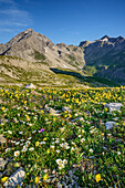 Meager alpine vegetation with Vorderseespitze and Feuerspitze in, Lechtal Alps, Tyrol, Austria