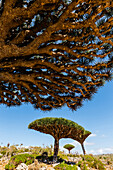 Dragon's blood trees growing in arid climate, Dixam Plateau, Socotra, Yemen