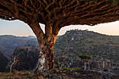 Dragon's blood trees growing in arid landscape, Dixam, Socotra, Yemen