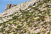 Dragon's blood trees growing on craggy hillside, Homhil, Socotra, Yemen