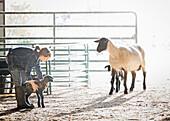 Sheep watching mixed race girl petting lamb in barn, Nampa, Idaho, USA