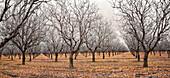 Bare trees in grove, Kettleman City, California, USA