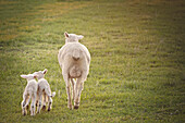 Sheep walking with lambs in field on farm, Nampa, Idaho, USA