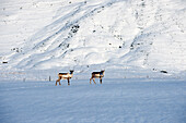 Reindeer grazing in arctic landscape, Hofn, Austurland, Iceland
