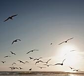Flock of seagulls flying over beach, C1