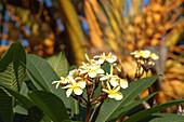 Franginpani-Blüten