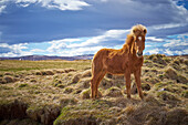 Horse standing in field of hay in rural landscape, unknown, unknown, Iceland