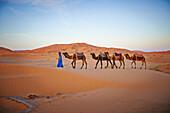 Guide leading camels on sand dunes in desert landscape, Sahara Desert, Morocco, Morocco