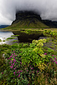 Wildflowers growing in remote field under foggy mountain, Lomagnupur, Iceland, Iceland