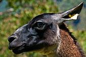 'South America, Peru, Cuzco region, Urubamba Province, Unesco World heritage since 1983, Machu Picchu (''old mountain''), close up on a animal face'