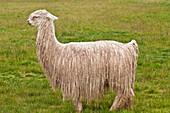 South America, Peru, Cuzco region, Cuzco Province, a lama