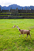 Llamas at the Inca ruins of Machu Picchu in Peru,South America