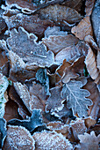 Europe, France, Aveyron, leaves covered with frost in early winter.