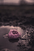 Pink Flower in Puddle of Water, Selective Focus