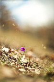 Purple Flower on Hillside, Selective Focus
