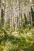 Grove of White Aspen Trees, Colorado, USA