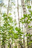 Blurred Aspen Grove