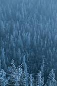 Frost covered evergreens near Mount Washington.