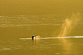 Breath whale and tail in golden light of sunset in British colombia