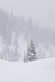 Conifer in a blizzard above Red Mountain Pass, San Juan National Forest, Colorado.