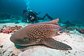 Leopard shark, Dimaniyat Islands, Gulf of Oman, Oman, Middle East