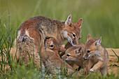 Swift fox (Vulpes velox) nursing, Pawnee National Grassland, Colorado, United States of America, North America