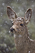 Young mule deer (Odocoileus hemionus) in a snow storm in the spring, Yellowstone National Park, Wyoming, United States of America, North America