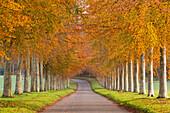 Avenue of colourful trees in autumn, Dorset, England, United Kingdom, Europe