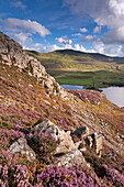 Heather carpeted mountainside in autumn above Llynnau Cregennen, Snowdonia National Park, Wales, United Kingdom, Europe