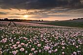 Opium poppies at sunset, Oxfordshire, England, United Kingdom, Europe