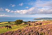 Exmoor ponies graze on heather covered moorland on Porlock Common in summer, Exmoor, Somerset, England, United Kingdom, Europe