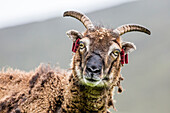 An ancient form of sheep called the Soay roaming the stone remains of the evacuated village on Hirta, St. Kilda Archipelago, Scotland, United Kingdom, Europe