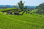 Rice terraces, Jatiluwih, UNESCO World Heritage Site, Bali, Indonesia, Southeast Asia, Asia