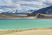 Horses and nomad tents on the shores of Tso Thadsang Karu, Ladakh, India, Asia