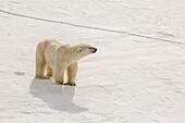Adult polar bear (Ursus maritimus) on first year sea ice near Cape Fanshawe, Spitsbergen, Svalbard, Arctic, Norway, Scandinavia, Europe