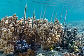 A school of razorfish (Aeoliscus strigatus), head down posture on the house reef at Sebayur Island, Komodo Island National Park, Indonesia, Southeast Asia, Asia