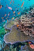 A profusion of coral and reef fish on Batu Bolong, Komodo Island National Park, Indonesia, Southeast Asia, Asia