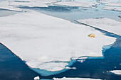 Polar bear (Ursus maritimus) on a ice floe in the Arctic shelf, Svalbard, Arctic