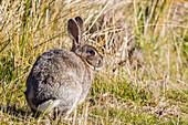 Introduced adult European rabbit (Oryctolagus cuniculus), New Island, Falklands, South Atlantic Ocean, South America