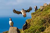 Atlantic puffins (Fratercula arctica), Mykines Island, Faroes, Denmark, Europe
