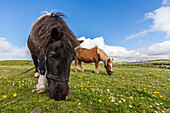 Shetland ponies, Jarlshof, Shetland Isles, Scotland, United Kingdom, Europe