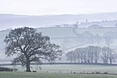 Misty rolling countryside with trees in wintertime, Copplestone, Devon, England, United Kingdom, Europe