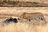 Curious cheetah sniffing at nature lover's backpack, Western Cape, South Africa, Africa