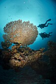 Silhouette of two scuba divers above Table coral, Ras Mohammed National Park, Sharm el-Sheikh, Red Sea, Egypt, North Africa, Africa