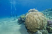 Coral reef and three scuba divers, Naama Bay, Sharm el-Sheikh, Red Sea, Egypt, North Africa, Africa