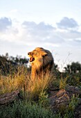 Male lion bathed in evening light and roaring, Amani Lodge, near Windhoek, Namibia, Africa