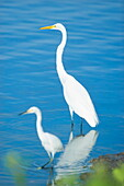 Great Egrets (Casmerodius albus) in a pond, Sanibel Island, J. N. Ding Darling National Wildlife Refuge, Florida, United States of America, North America